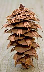 fir pine cone